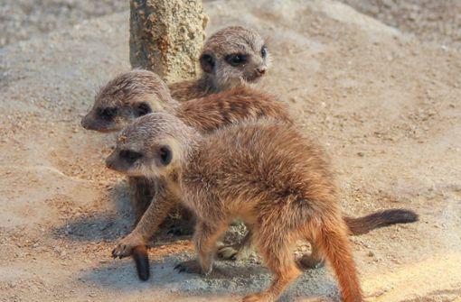Drei Baby-Erdmännchen begrüßen den Frühling