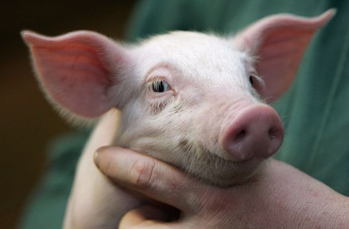 Ferkel gelingt Flucht aus Tiertransporter