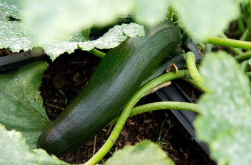 Mann im Südwesten vergiftet sich an Zucchini – Ministerium warnt