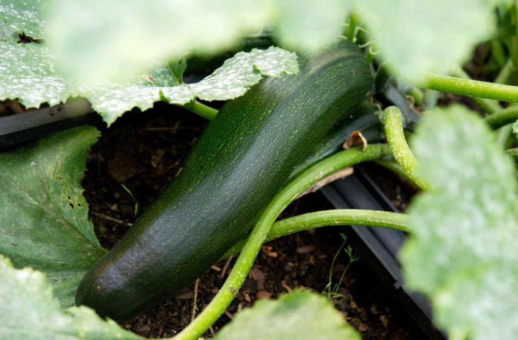 In Baden-Württemberg hat sich ein Mann an einer Zucchini vergiftet. Foto: dpa