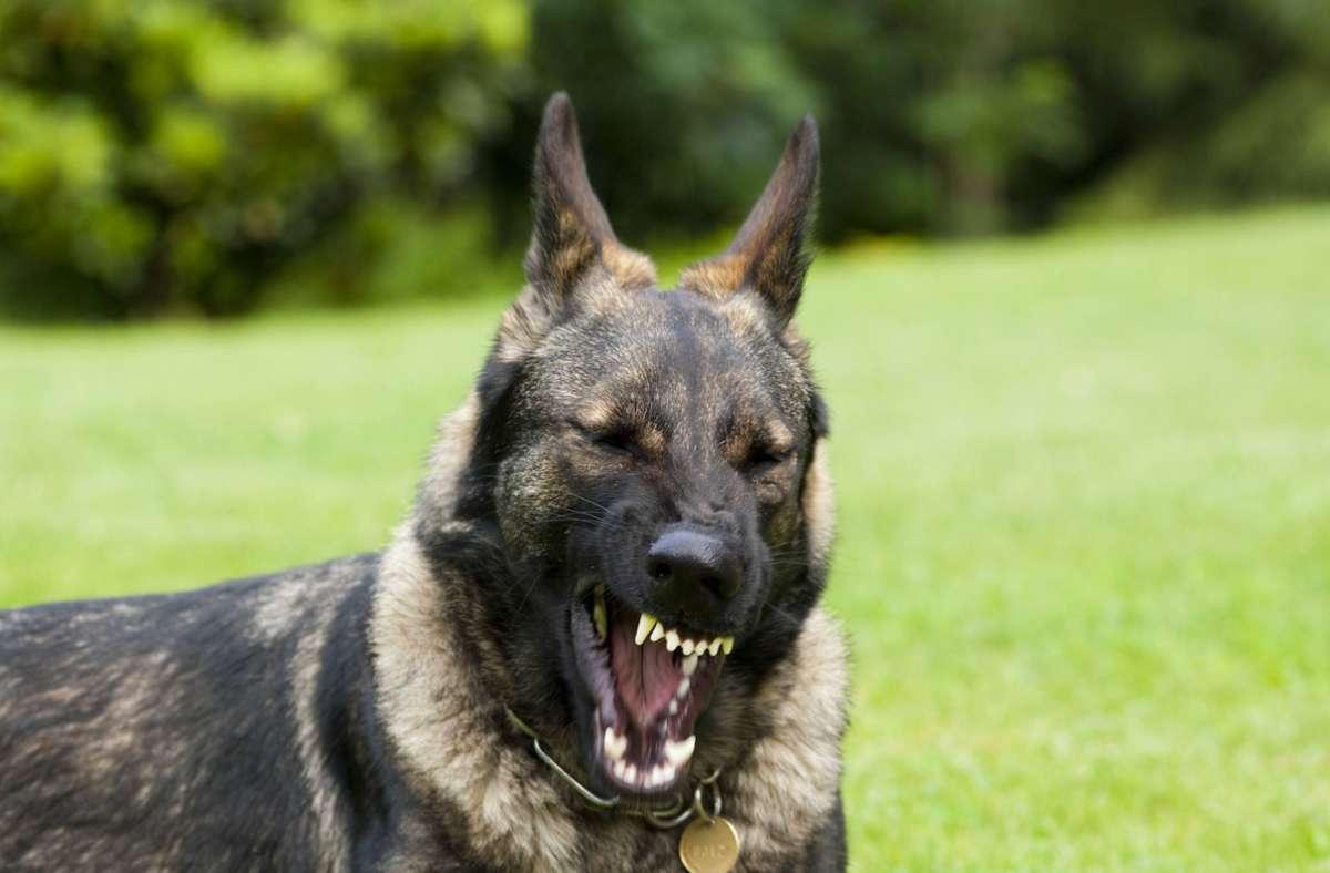 Der Halter des aggressiven Schäferhunds ist der Polizei bekannt (Symbolbild). Foto: imago stock&people/imago stock&people