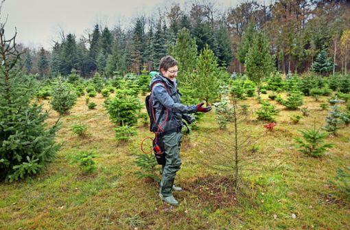 70  Prozent Ausfall bei jungen Tannenbäumen
