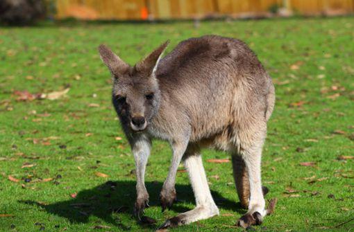 """Känguru """"Skippy"""" ausgebüxt – Zirkus sucht nach Tier"""