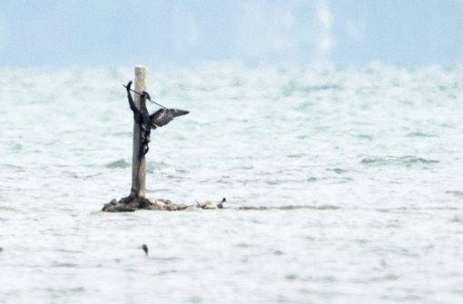 Kormoran an Kreuz gebunden