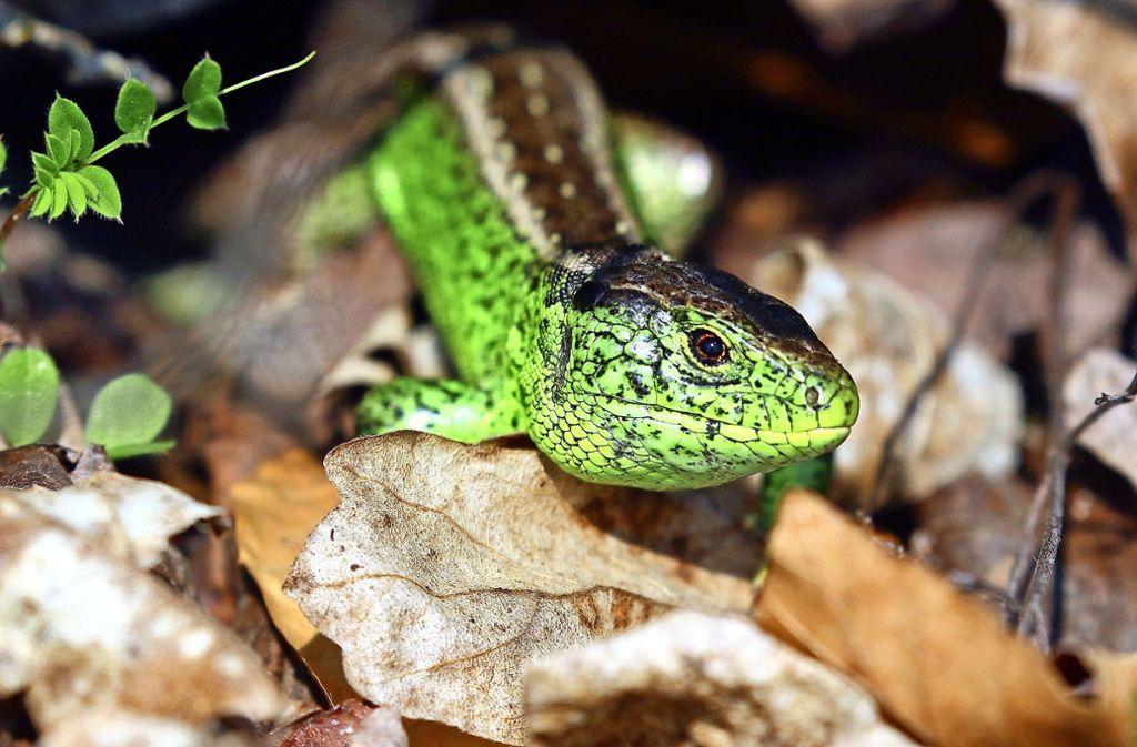 In der Paarungszeit leuchten die männlichen Zauneidechsen besonders smaragdgrün. Foto: Michael Eick