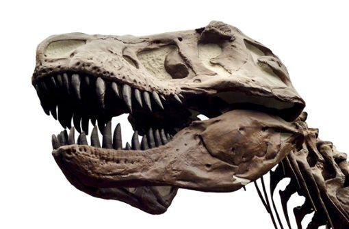 Tübinger Forscher fühlen T. rex auf den Zahn