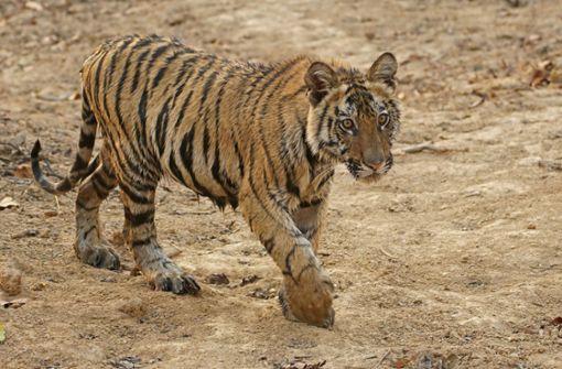 Polizei  findet vermissten Tiger nach tagelanger Suche