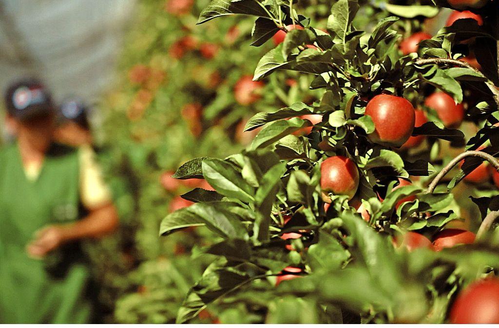 Besonders die  Apfelbauern am Bodensee verzeichneten in diesem Jahr  eine schlechten Ernte. Foto: BayWa