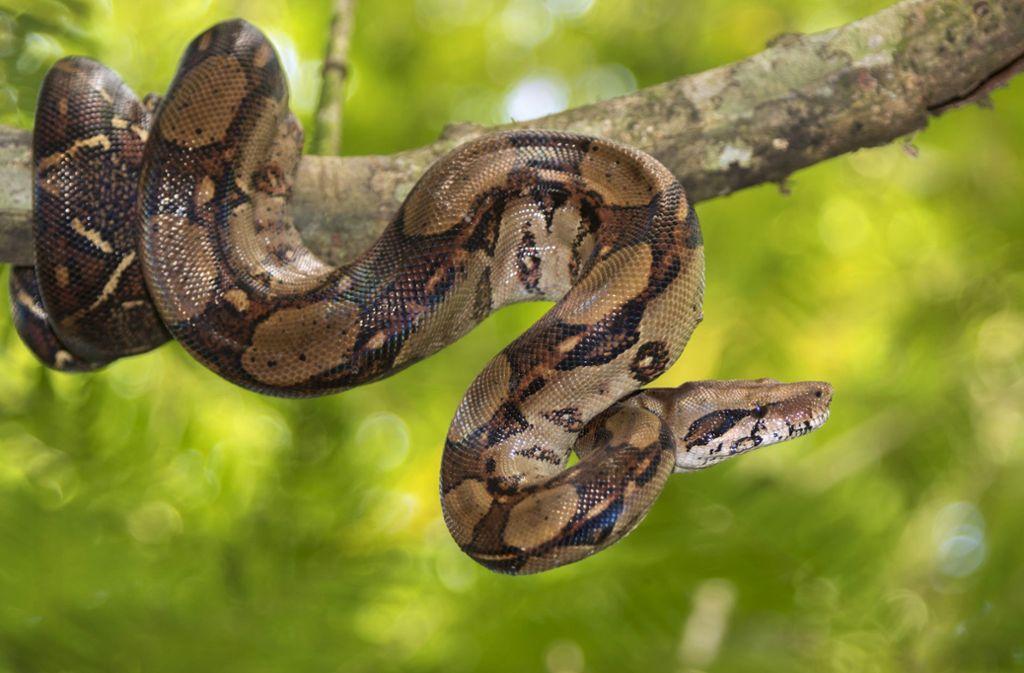 Woher die Boa Constrictor stammte, war zunächst nicht klar. (Symbolbild) Foto: Shutterstock