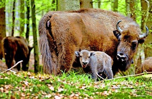 Die vor anderthalb Jahren im Rothaargebirge ausgesetzte Wisent-Herde hat Nachwuchs bekommen: In die Kamera schaut das männliche Kalb Quintus. Foto: Wisent-Welt-Wittgenstein