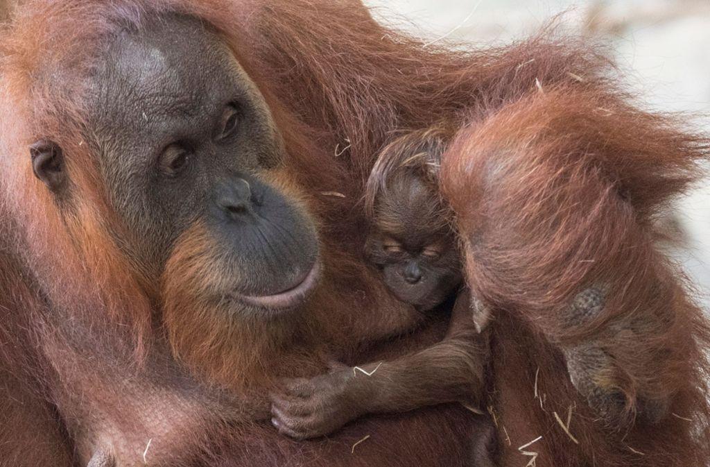 Ein Orang-Utan-Weibchen mit ihrem Nachwuchs im Frankfurter Zoo. Foto: dpa
