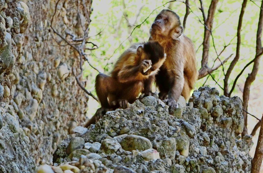Kapuzineraffen in Brasilien klopfen auf Steine, um scharfkantige Bruchstücke zu gewinnen, die den Werkzeugen früher Menschen ähneln. Foto: dpa