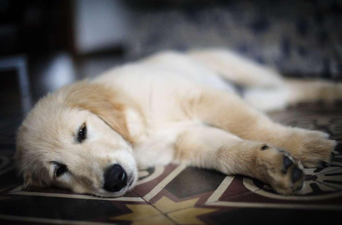 Bei den Hundewelpen handelte es sich laut Polizei um Golden Retriever. (Symbolbild) Foto: imago images/YAY Micro