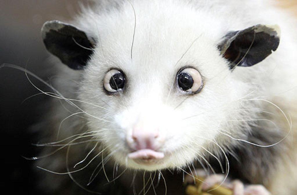 Opossum Heidi-der neue Star im Internet Foto: ap