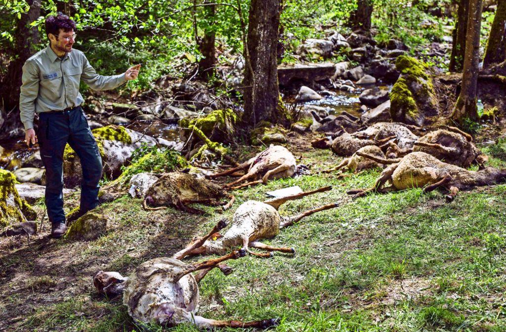 Experten der Forstlichen Versuchs- und Forschungsanstalt waren am Schauplatz des Wolfsrisses in der Nähe von Bad Wildbad rasch zur Stelle. Foto: dpa