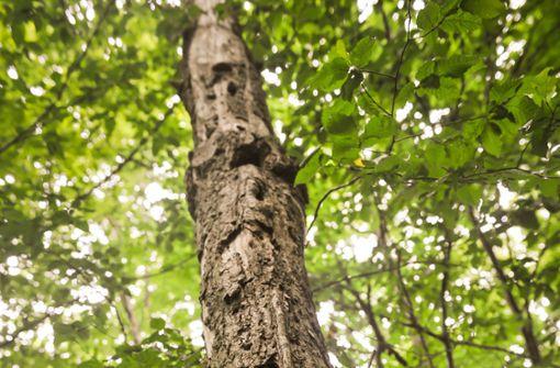 Alte Bäume stehen bald unter Schutz