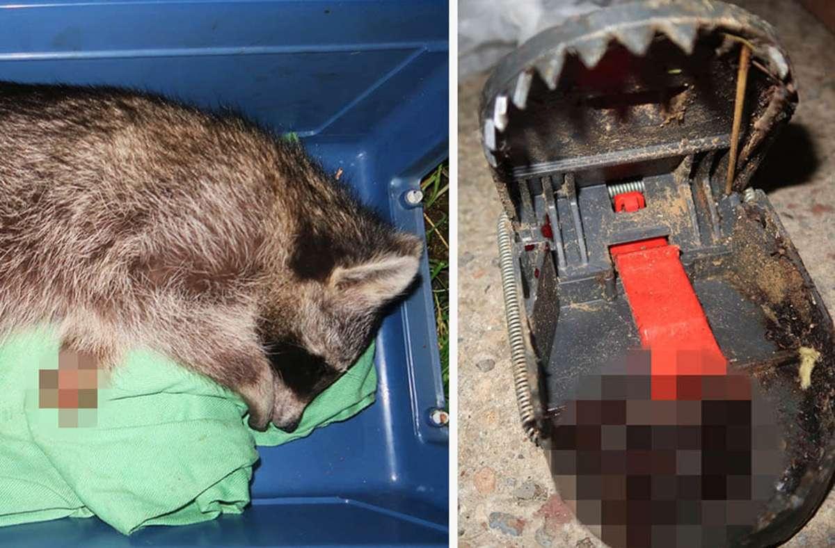 Der Waschbär war in eine Schlagfalle geraten. Ein Tierarzt musste ihn schließlich einschläfern. Foto: Peta