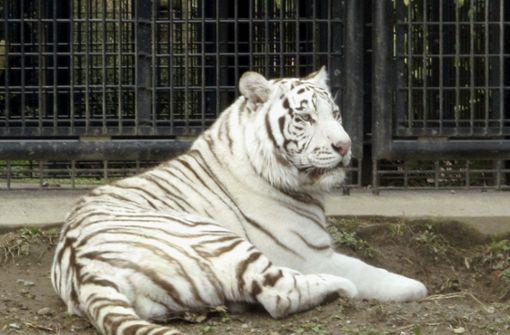Weißer Tiger tötet Tierpfleger
