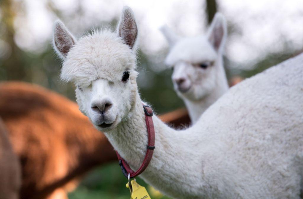 In Lorch kann man am Samstag mit Alpakas wandern. Foto: dpa