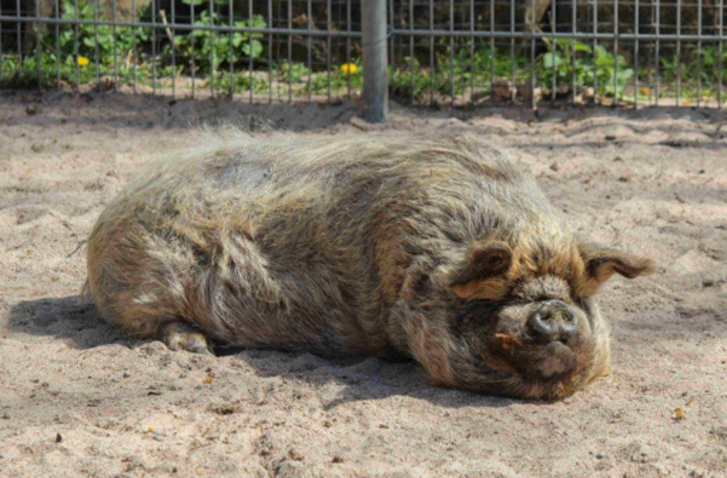 Die Kune-Kune-Schweine sind neu in der Wilhelma Stuttgart. Foto: Wilhelma Stuttgart