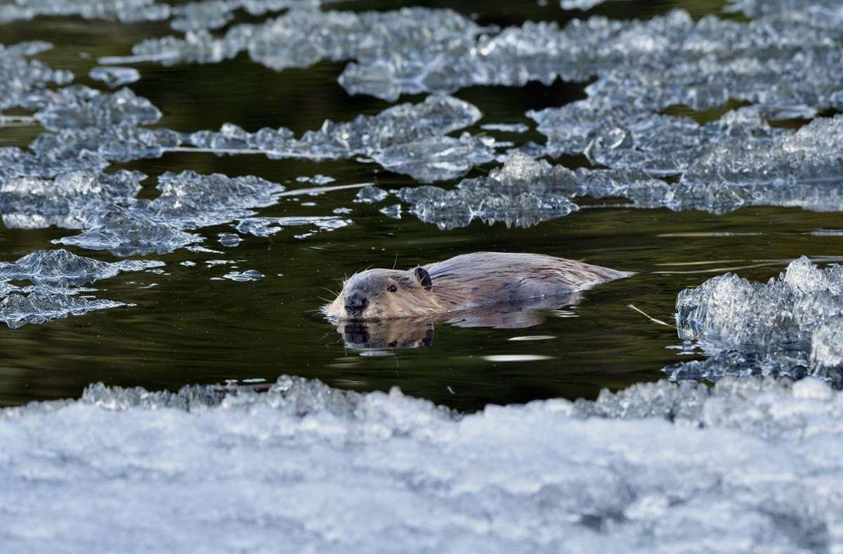 Biber sind ausgezeichnete Schwimmer und kommen auch in sehr kalten Gewässern gut zurecht. (Symbolfoto) Foto: imago images/All Canada Photos