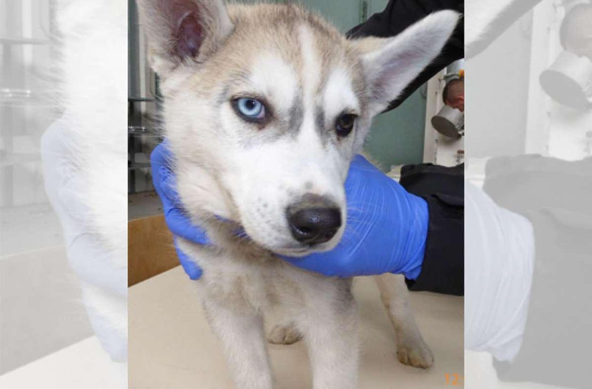 Der kleine Husky war ein einer Box eingesperrt. Foto: dpa