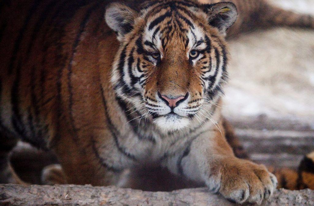 Insgesamt fünf Tiger und drei Löwen haben sich angesteckt (Symbolbild). Foto: dpa/Diego Azubel
