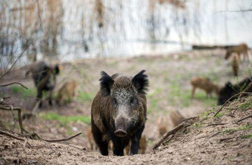 Schon wieder randalieren Wildschweine vor Supermarkt