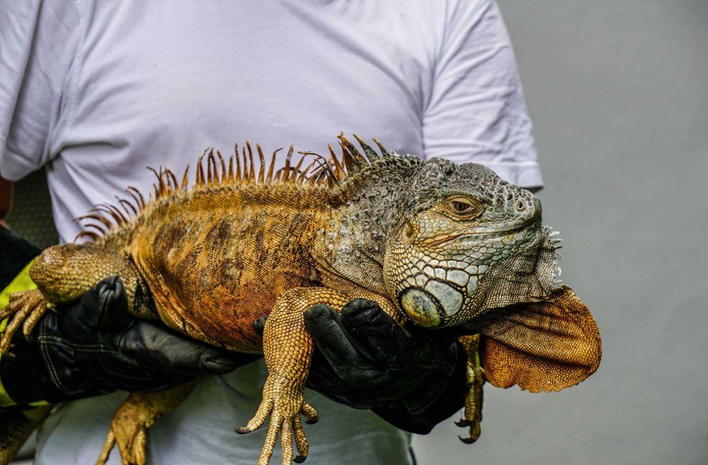 """Leguan """"Freddy"""" war aus seinem Zuhause in Urbach abgehauen. Foto: SDMG"""
