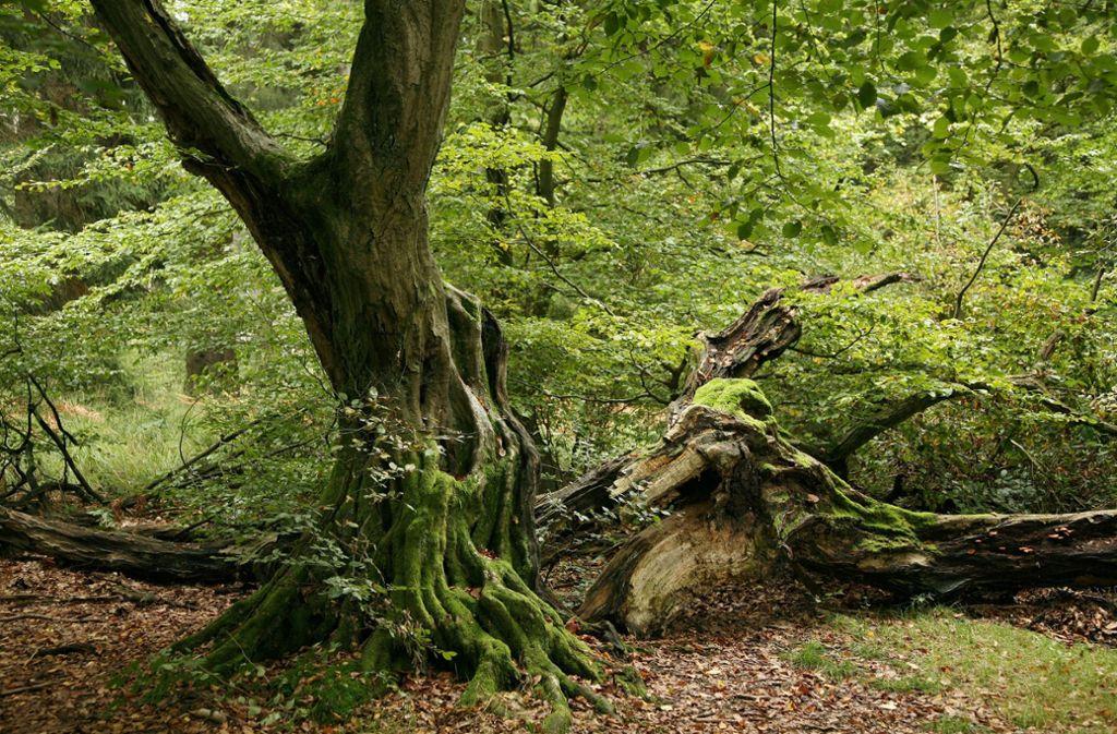 """Im """"Urwald Sababurg"""" (Kreis Kassel) steht diese knorrige Eiche. Foto: dpa"""