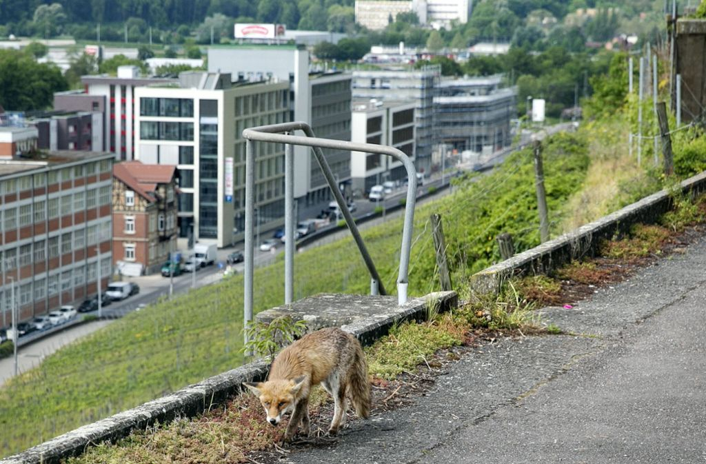 Die Strecken in den weinbergen lassen sich nicht vernünftig sichern. Foto: Horst Rudel
