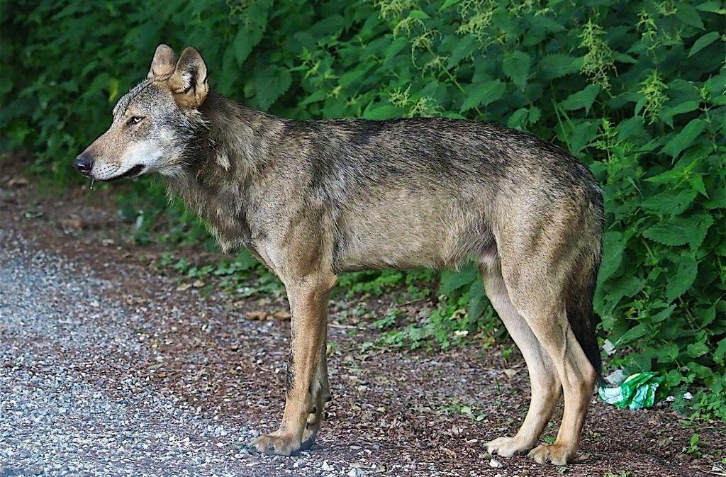 Der Wolf bei Stockach (Archivbild). Inzwischen ist das Tier gestorben. Foto: