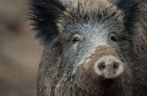 Wildschwein läuft Jäger zu