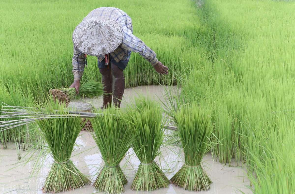 Ein Landwirt arbeitet in Kambodscha auf einem Reisfeld. Rund ein Drittel der weltweiten Landwirtschaftsflächen könnte 2090 aufgrund der Klima-Krise nicht mehr für die Agrarproduktion geeignet sein. Foto: Kith Serey/EPA/dpa