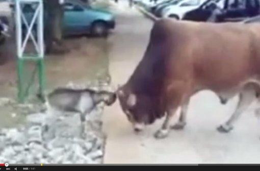 Eine Ziege nimmt es mit einem Bullen auf