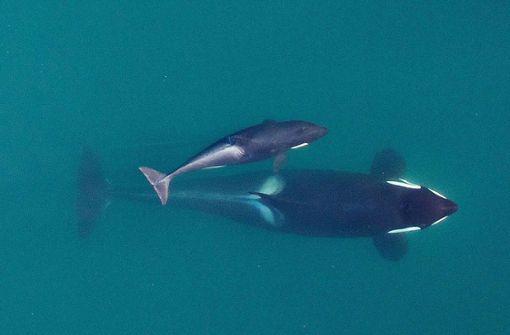 Orcas droht der schleichende Tod