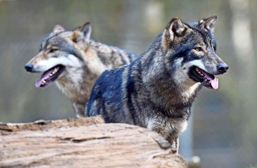 Wolf GW852m lebt im Verborgenen