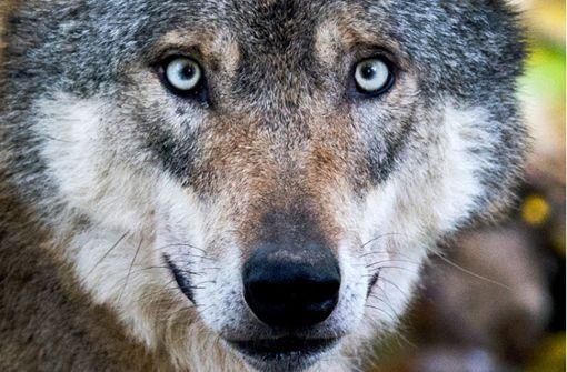 Wolf aus Odenwald möglicherweise nach Baden-Württemberg gezogen