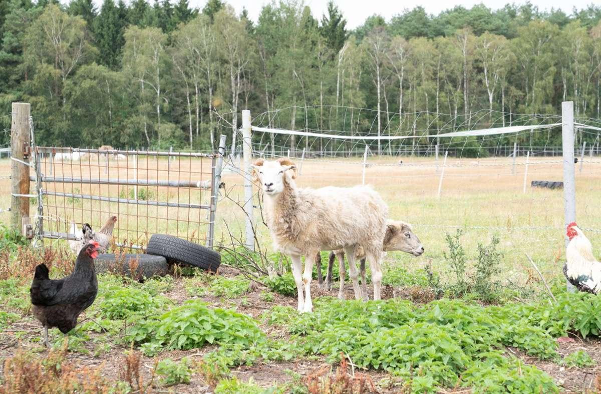 19 Hühner, ein Hahn und mindestens zwei Schafe fielen den Tierquälern zum Opfer. (Symbolbild) Foto: imago images/Chris Emil Janßen