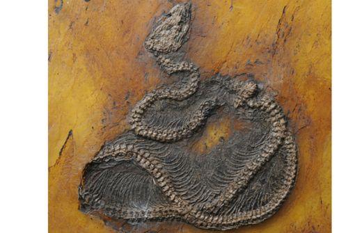 Älteste fossile Python in Welterbe Grube Messel entdeckt