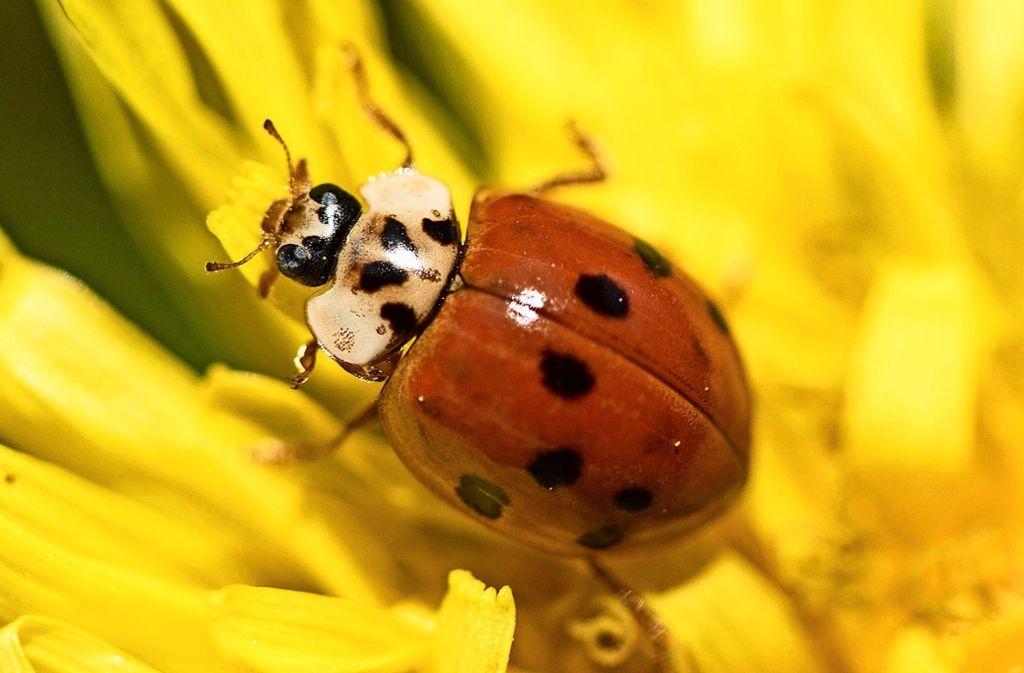 An Blüten laben sich auch Marienkäfer. Sie fressen aber auch Blattläuse. Foto: dpa