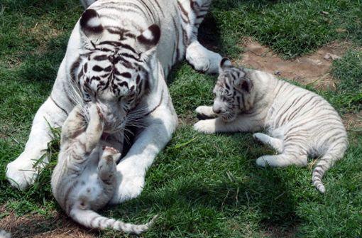 Peruanischer Zoo bekommt drolligen Nachwuchs