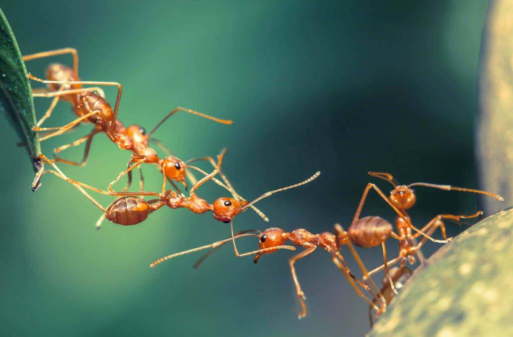 Die wirkungsvollsten Hausmittel, um Ameisen zu bekämpfen. So vertreiben Sie Ameisen aus dem Haus, dem Garten, vom Balkon oder der Wohnung. Foto: Chik_77 / Shutterstock.com
