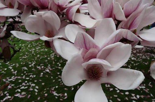 Die prächtigen Magnolien blühen
