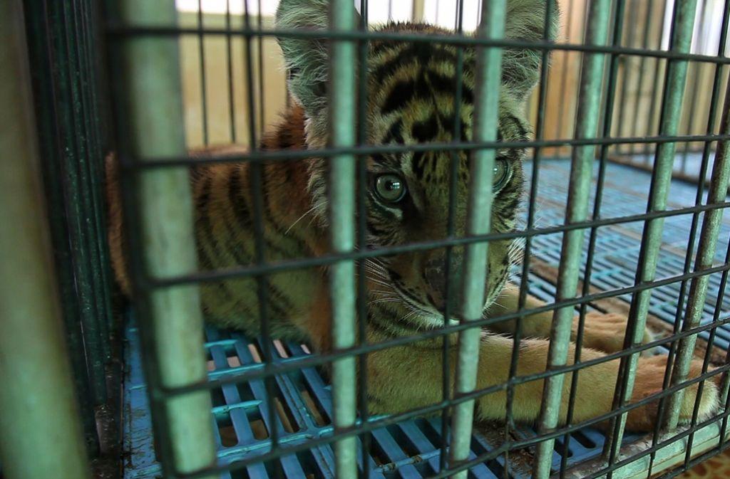 Leben im Käfig: Junger Tiger in einer Tigerfarm im thailändischen Bangkok . Foto: Adam Oswell/WWF