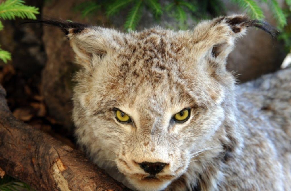 Ein Nationalpark braucht touristische Attraktionen: Ein Wildtierreservat  für  Luchs Foto: dpa