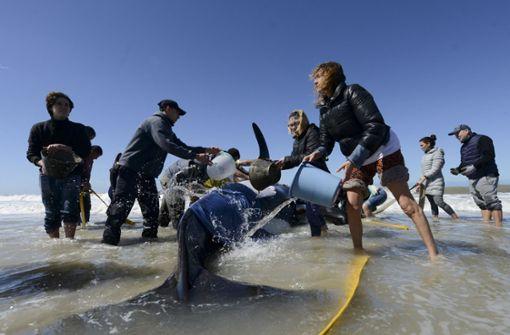 Helfer retten sechs gestrandete Schwertwale