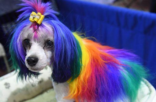 Amerika sucht den schönsten Hund